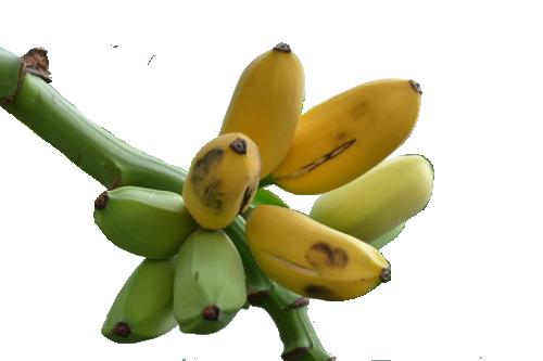 Banana - Manzano 5 gallon