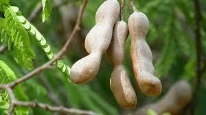 Tamarind - Manila - Guamachil - Madras Thorn - Seedlings
