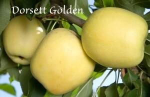 Apple - Dorsett Golden Apple
