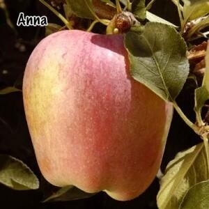 Apple - Anna