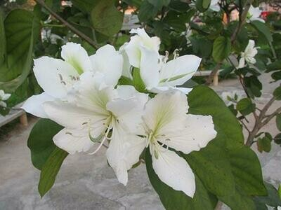 Orchid Tree - Bauhinia blakeana (White) SMALL