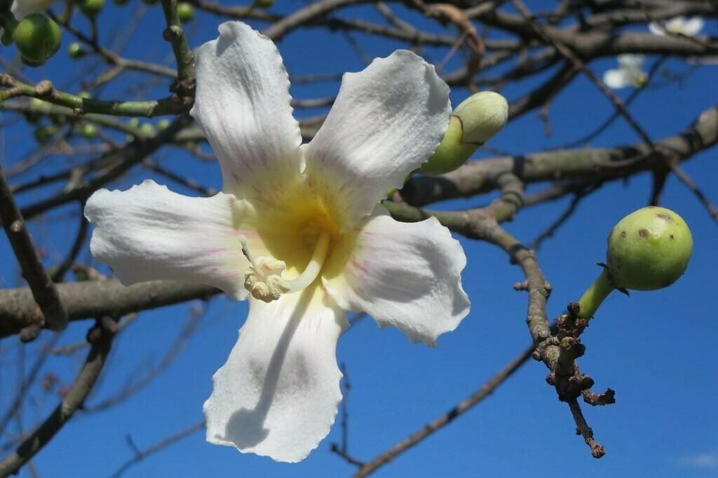 Silk Floss Tree MEDIUM (White)