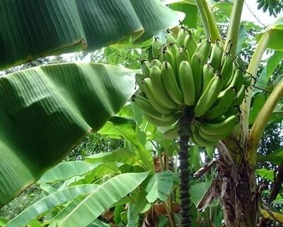 Banana - Goldfinger