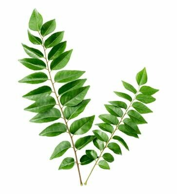 Curry Leaf Tree - Murraya koenigii