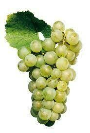 Grape - Chardonnay