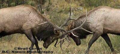 Elk Spar 20182