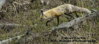 Fox 20152