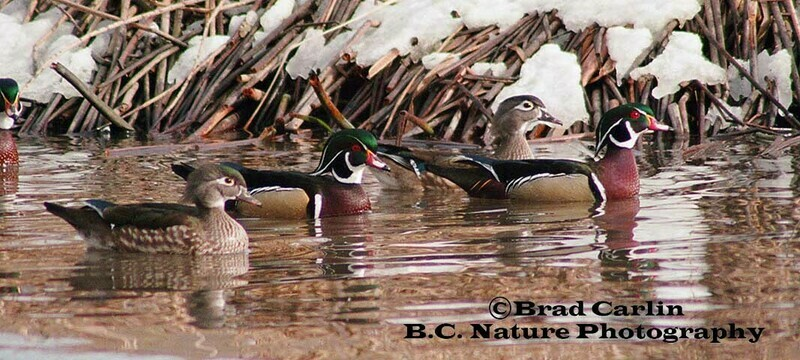 Wood Duck Chase