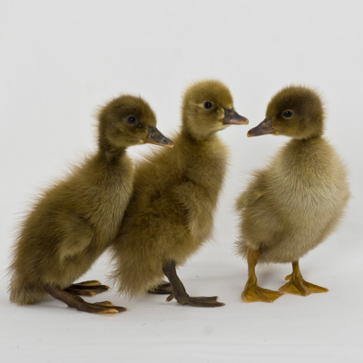 Khaki Campbell Day Old Ducklings