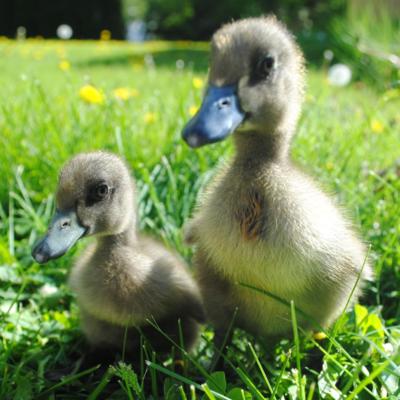 Black Runner Day Old Ducklings