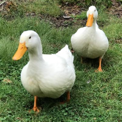 Jumbo Pekin Day Old Ducklings