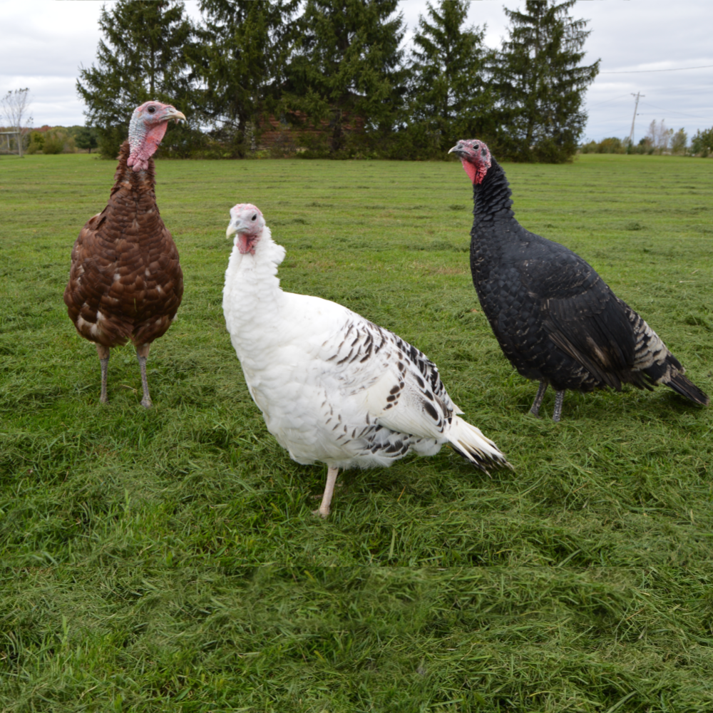 Assorted Heritage Day Old Turkey Poults