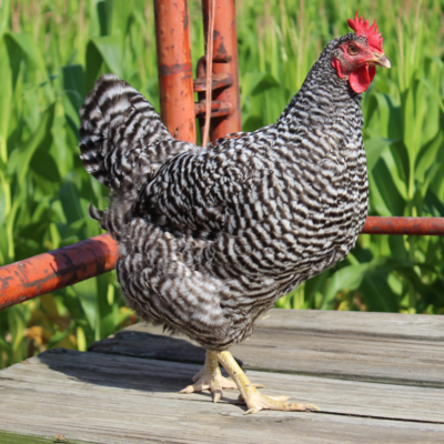 Barred Plymouth Rock Started Pullet