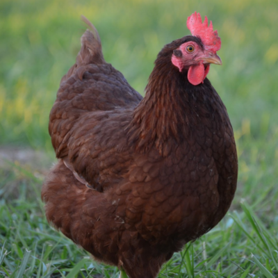 Rhode Island Red Started Pullet