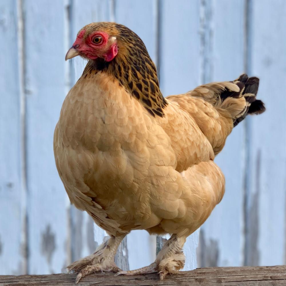 Buff Brahma Bantam Day Old Chicks
