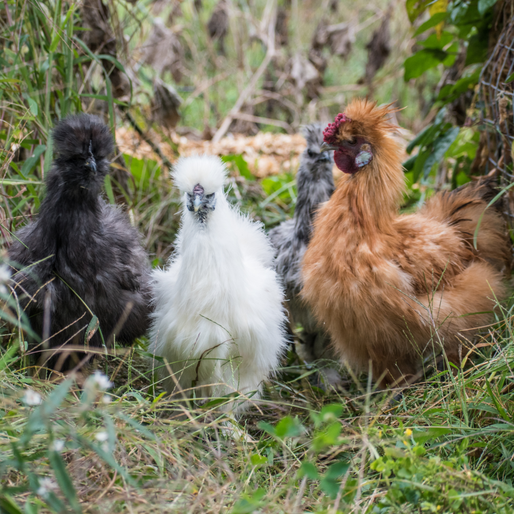 Assorted Silkie Bantam Day Old Chicks