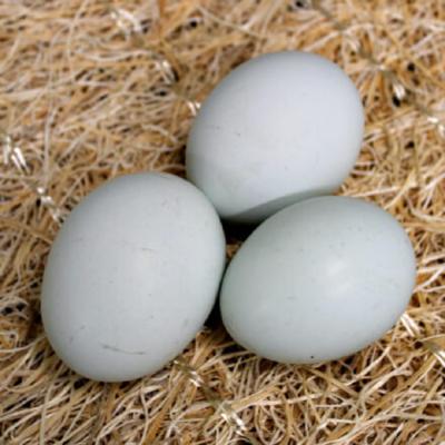 Cream Legbar Hatching Eggs