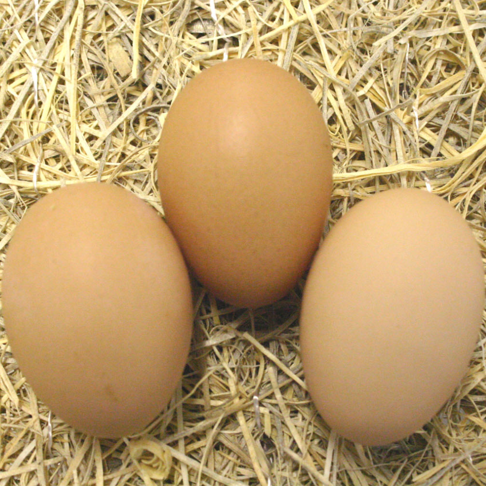 Black Australorp Hatching Eggs