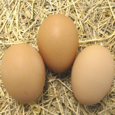 Black Australorp Hatching Eggs