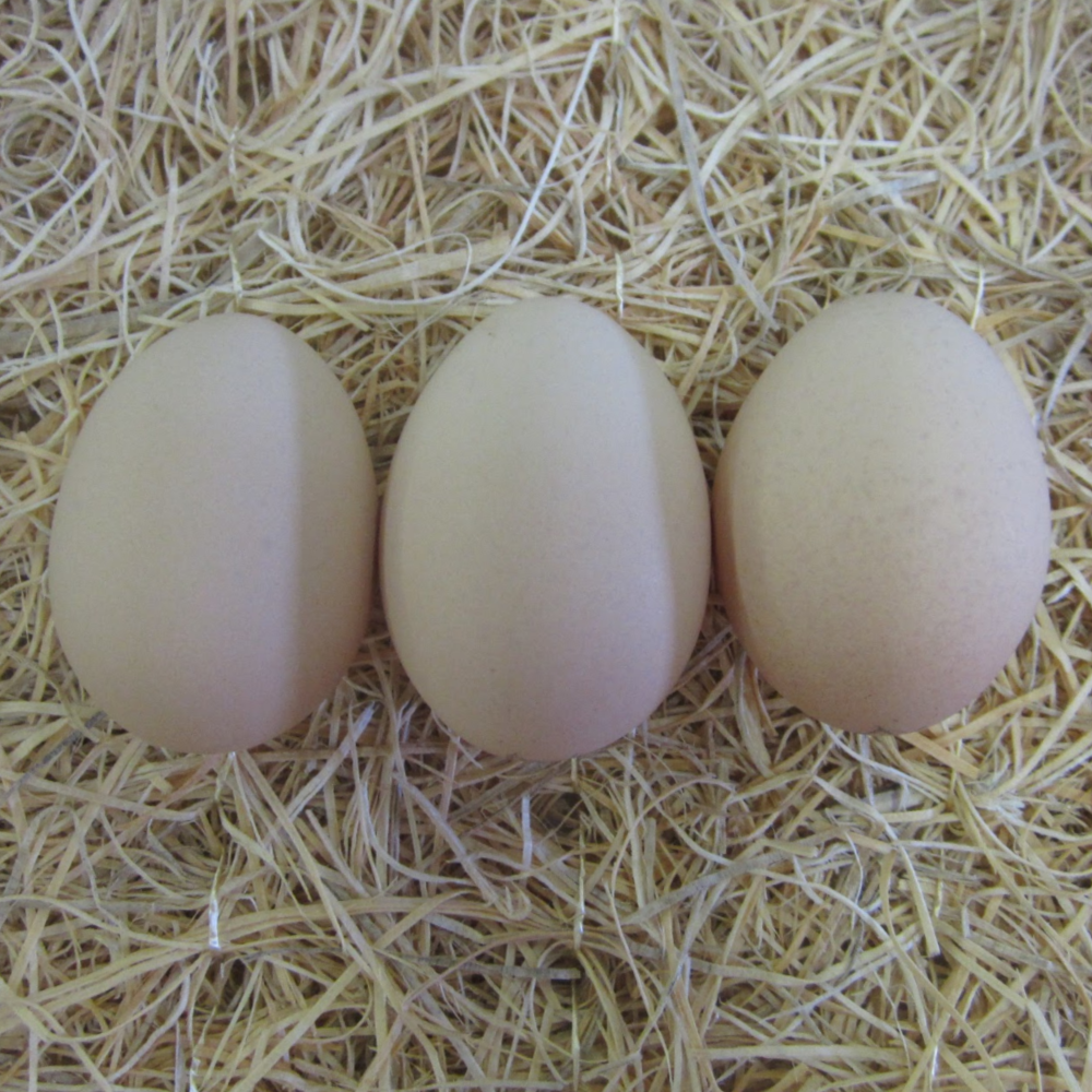 Lavender Orpington Hatching Eggs