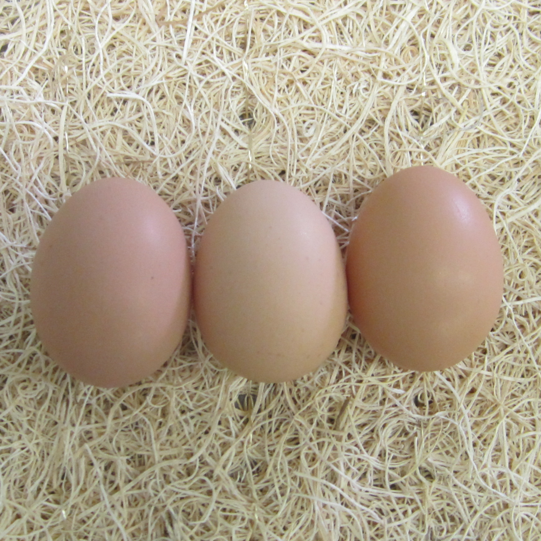 Rhode Island Red Hatching Egg
