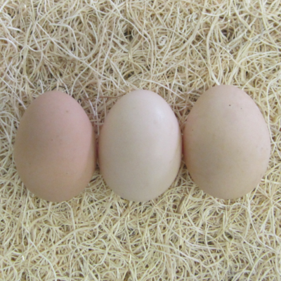 Speckled Sussex Hatching Eggs