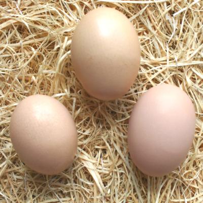 White Cochin Hatching Eggs
