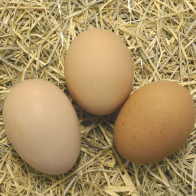 Barred Plymouth Rock Hatching Eggs