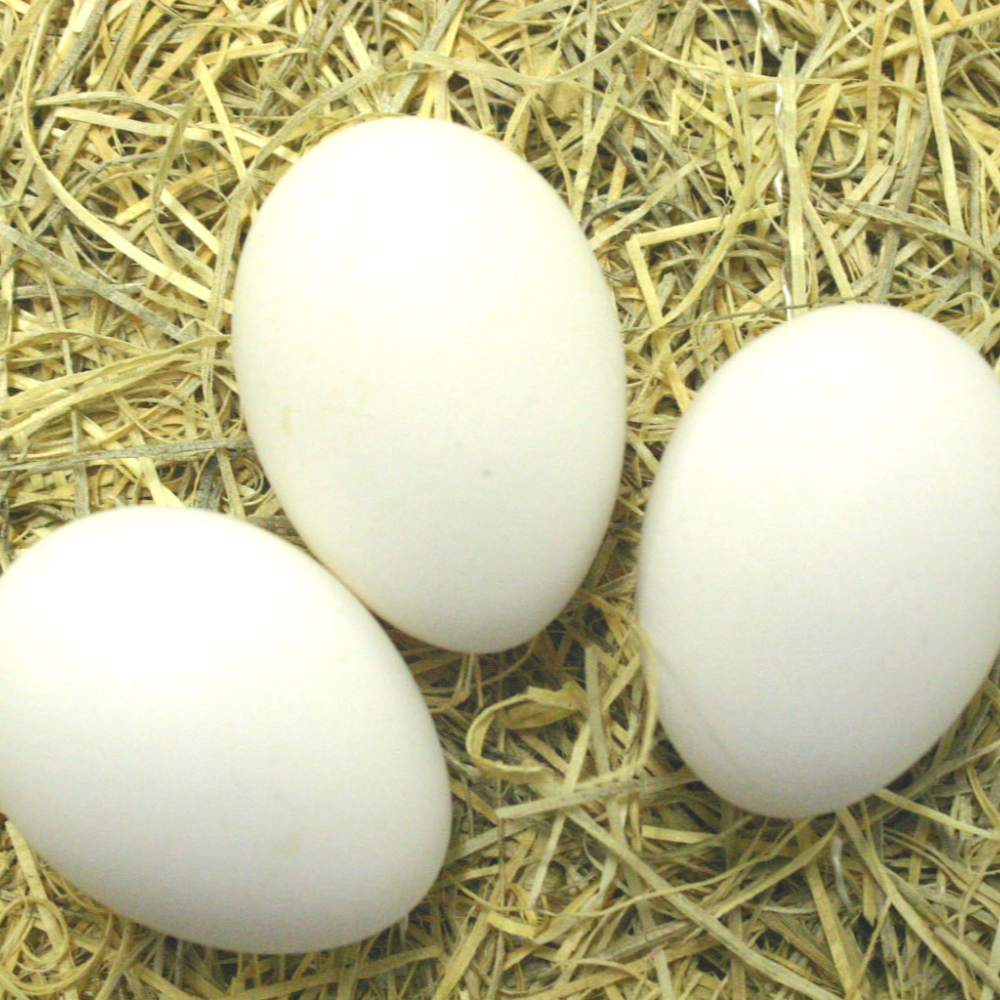 Blue (BBS) Andalusian Hatching Eggs