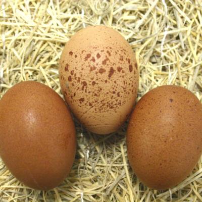 Welsummer Hatching Eggs