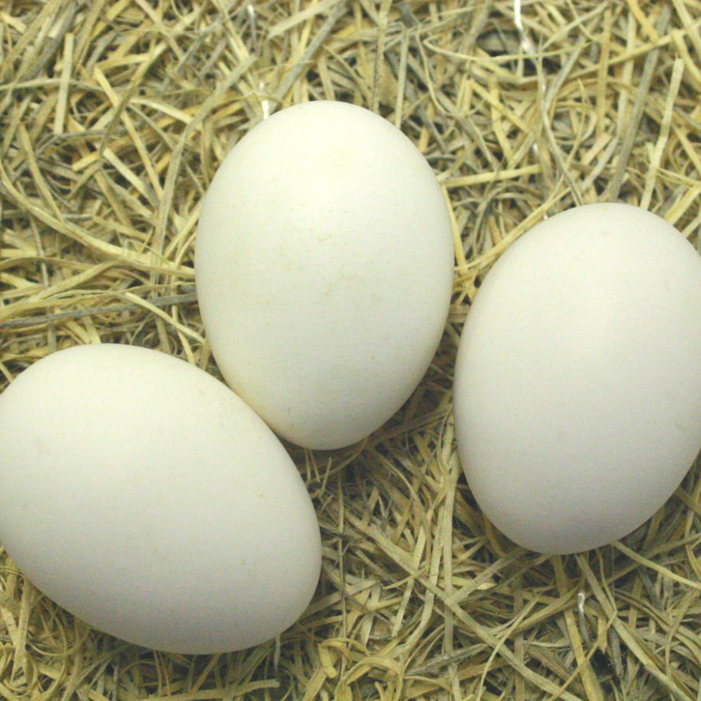 Light Brown Leghorn Hatching Eggs