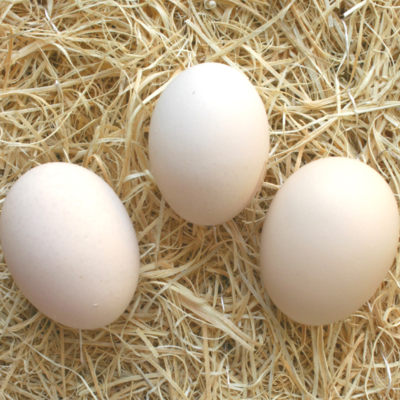 Partridge Plymouth Rock Hatching Eggs