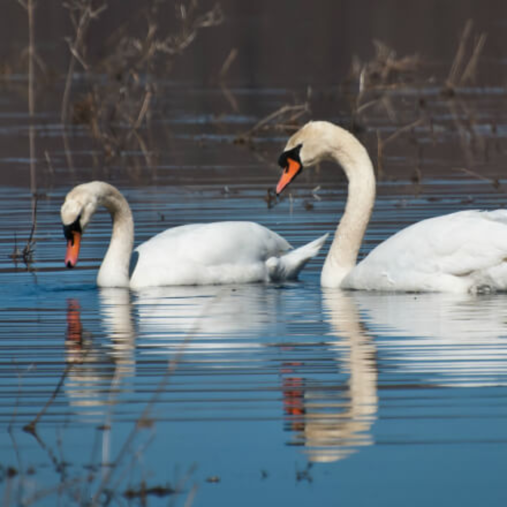 White Mute Swan Yearling Pair