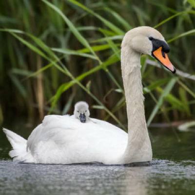 White Mute Swan Breeder Pair