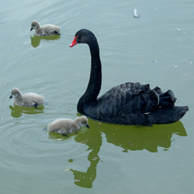 Australian Black Swans Breeder Pair