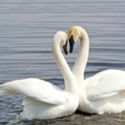 Trumpeter Swan Yearling Pair