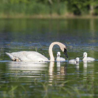 Trumpeter Swan Breeder Pair