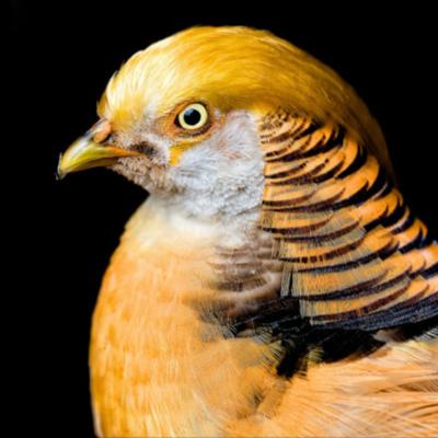 Yellow Golden Pheasant Adult Pair