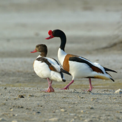Common Shelduck Juvenile Pair