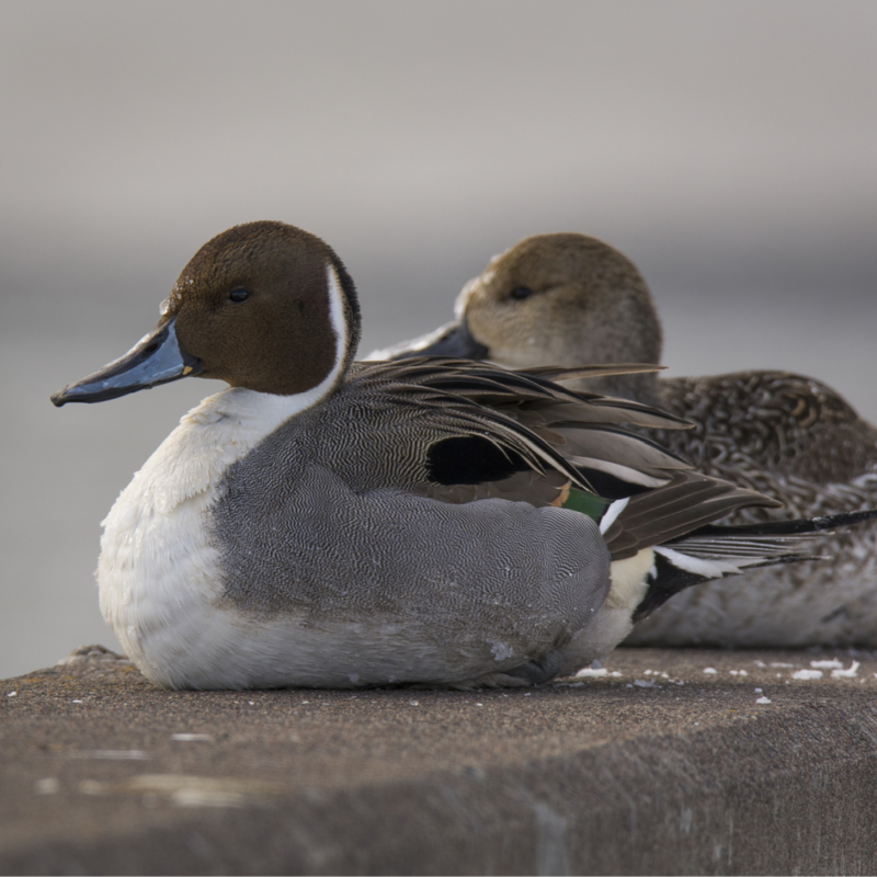 North American Pintail Duck Adult Pair