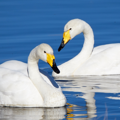 Whooper Swan Breeder Pair
