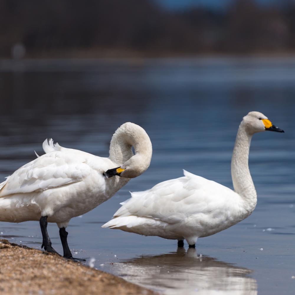 Whooper Swan Yearling Pair