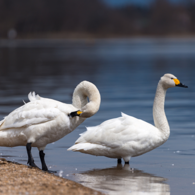 Whooper Swan Yearling Pair
