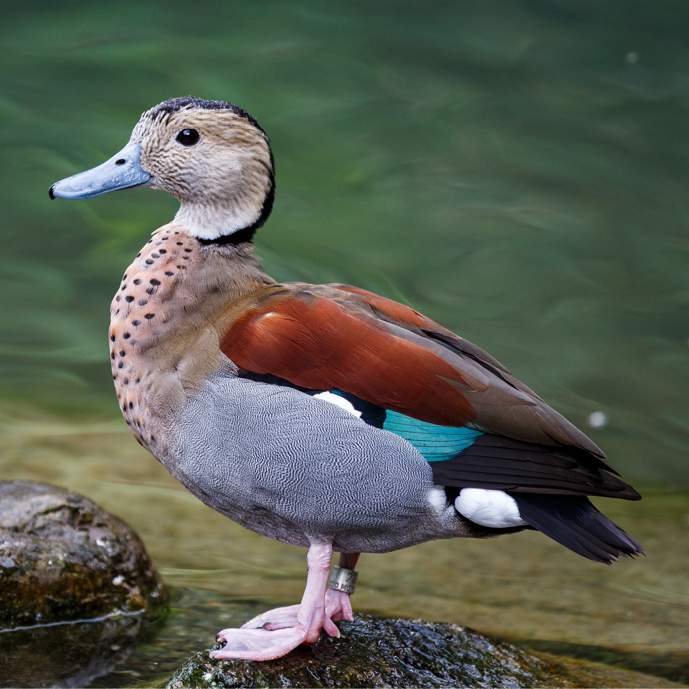 Ringed Teal Duck Yearling Pair
