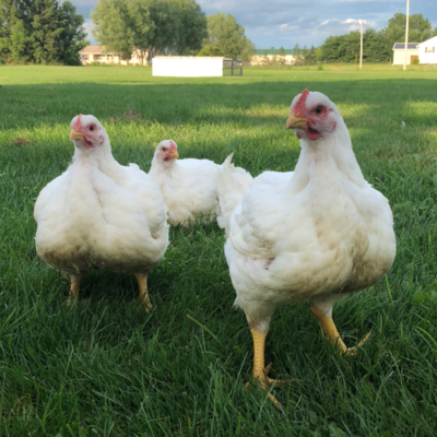 Jumbo Cornish Cross Broiler Day Old Chicks - Free Shipping