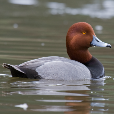 Redhead Duck Juvenile Pair