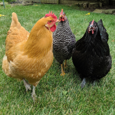 Assorted Started Pullets