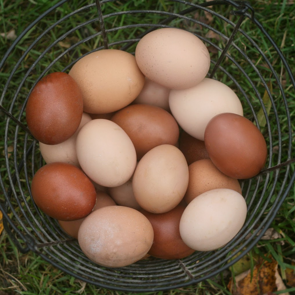 Brown Egg Layer Assortment Sale
