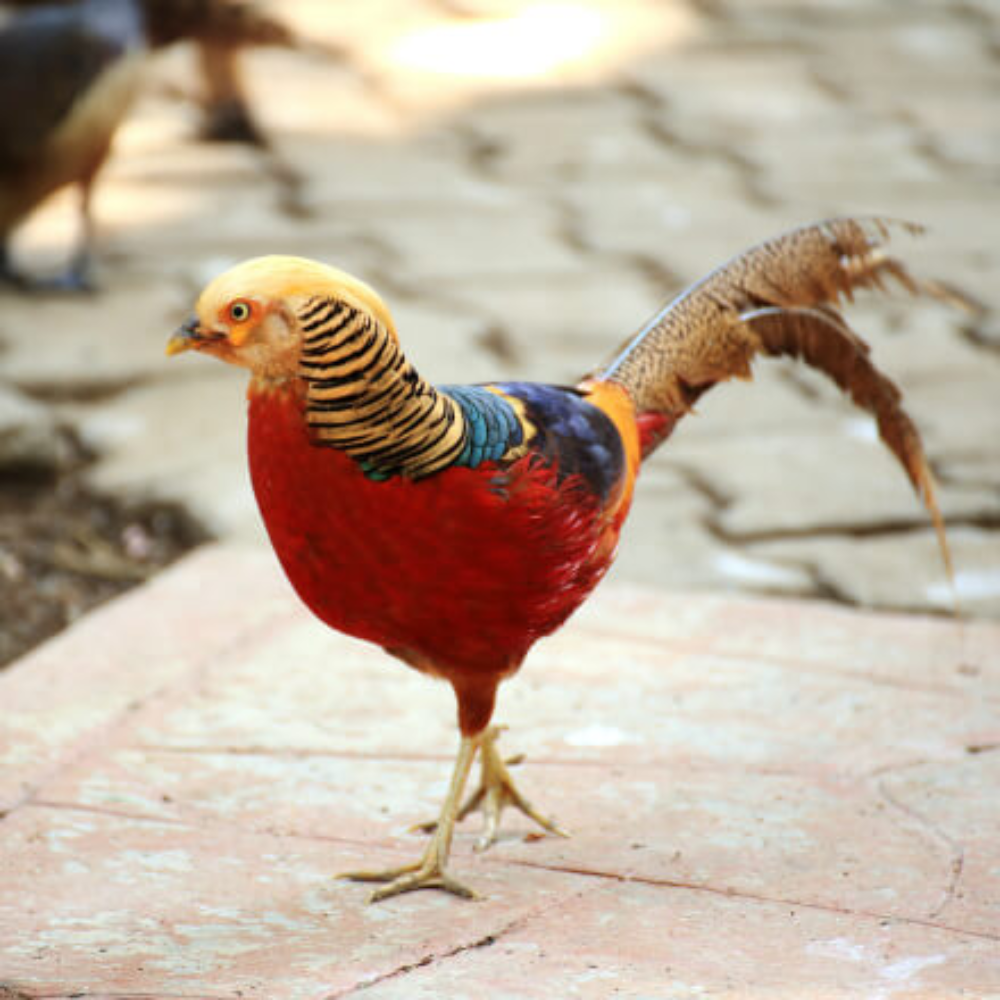 Single Exotic Pheasants