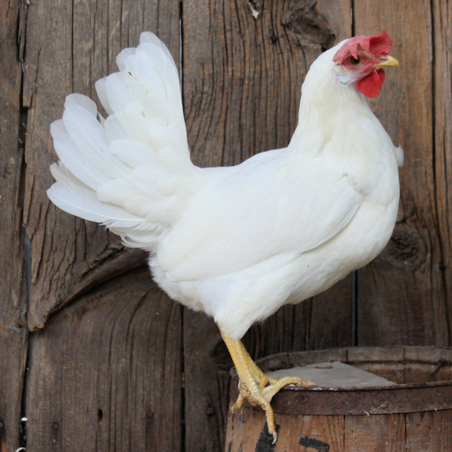 White Leghorn Day Old Chicks - Free Shipping